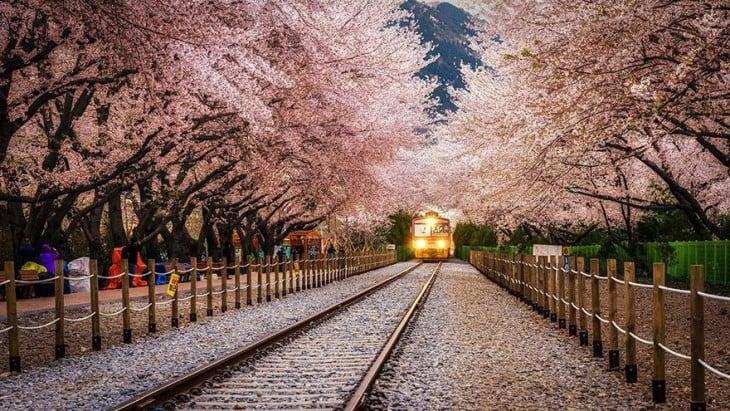 Túnel hecha con árboles de color rosa en la estación de jinhae en corea del sur