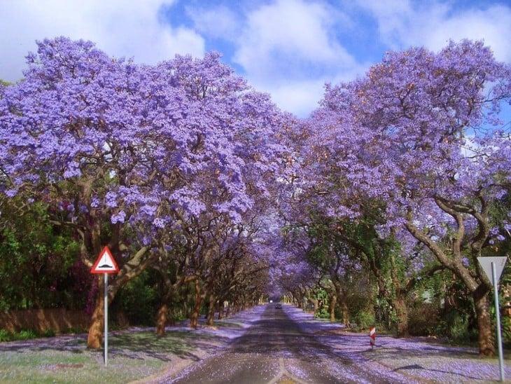 Paseo de jacarandas en Sudáfrica