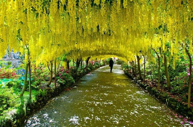Tunel Laburnun en los Jardines Bondnant en reino unido