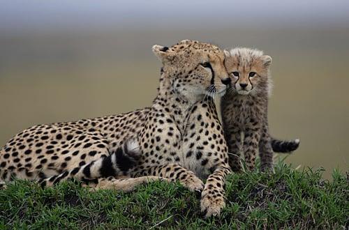 cheetah y su bebe