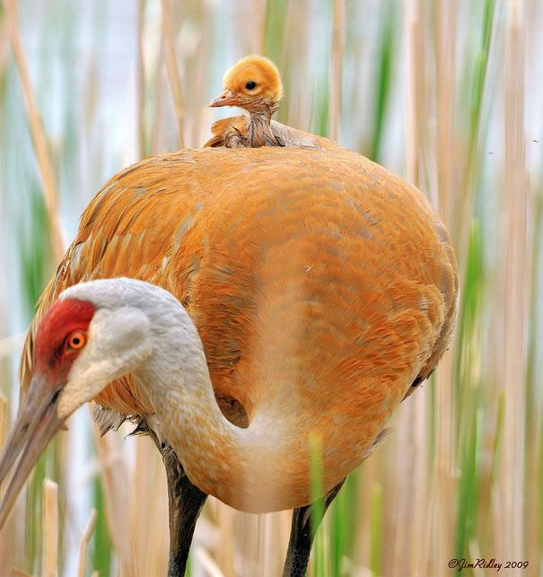 cigueña con su bebe en la espalda