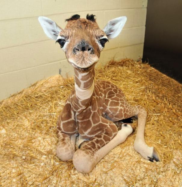 bebe jirafa en el zoologico