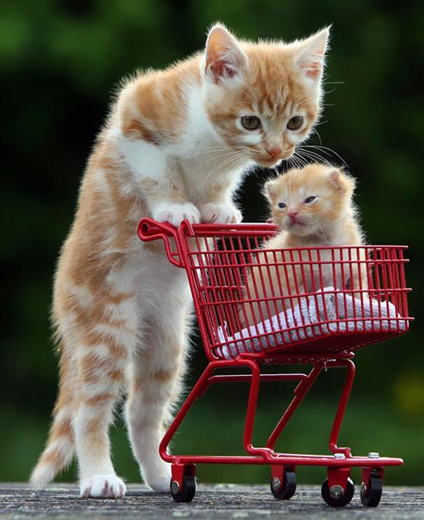 gato con carrito de supermercado