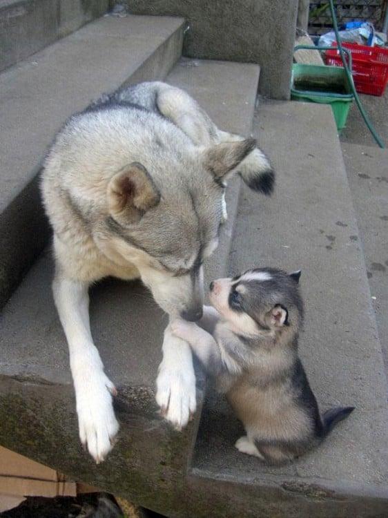 husky con su hijito