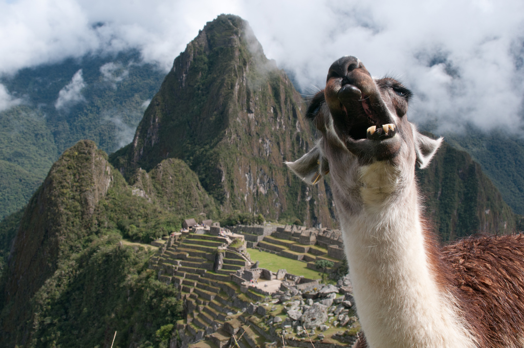 Alpaca Face 22 Animales muy gracio...