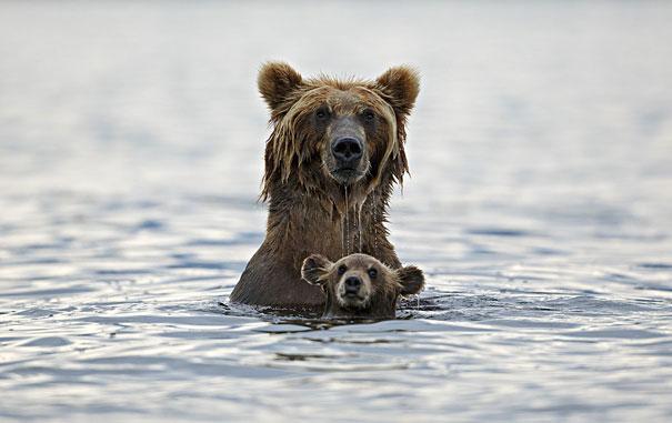 osos en el agua