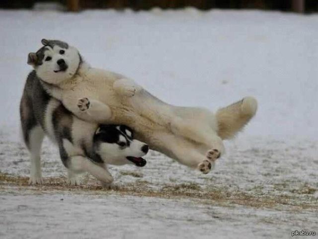 perros jugando en la nieve