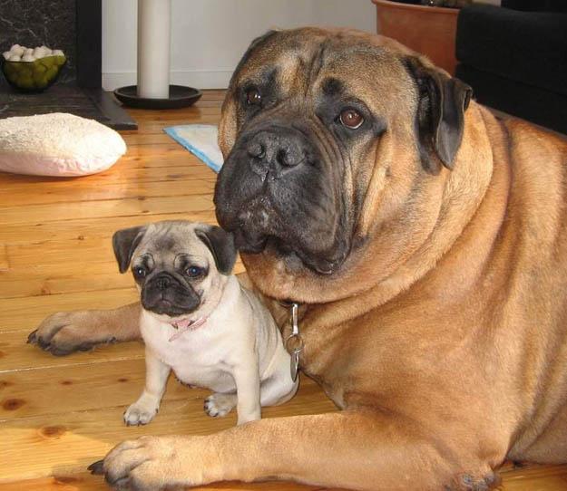 perro pug y su cachorro bebe