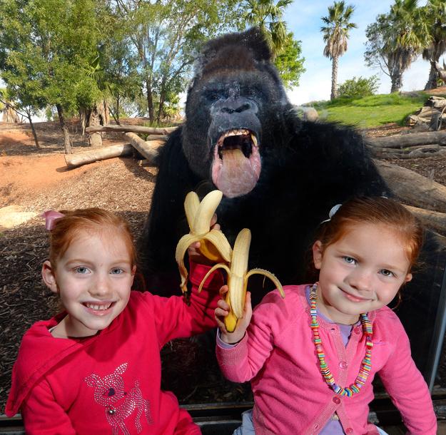 recreoviral.com gorila-colado-foto