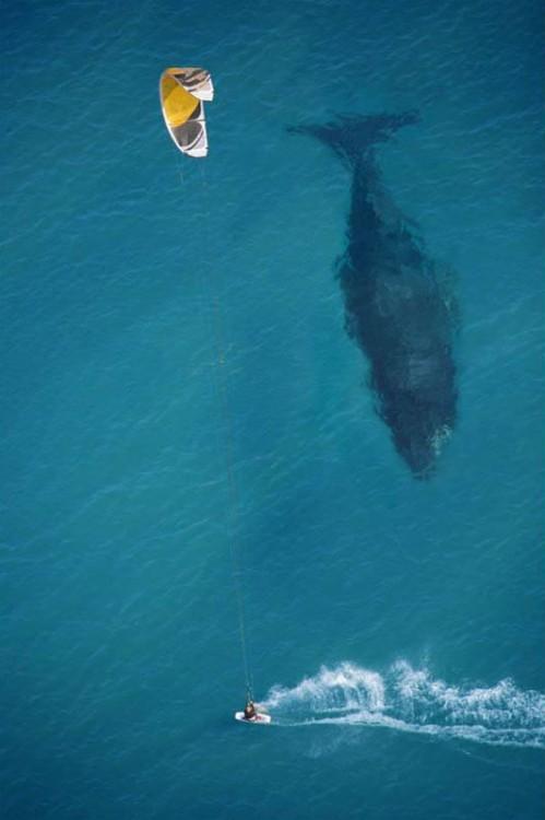 fotografía de un mar donde una ballena esta pasando debajo de un chico surfeando