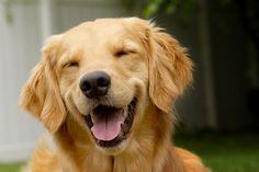 hermosa sonrisa de este perro golden retriever