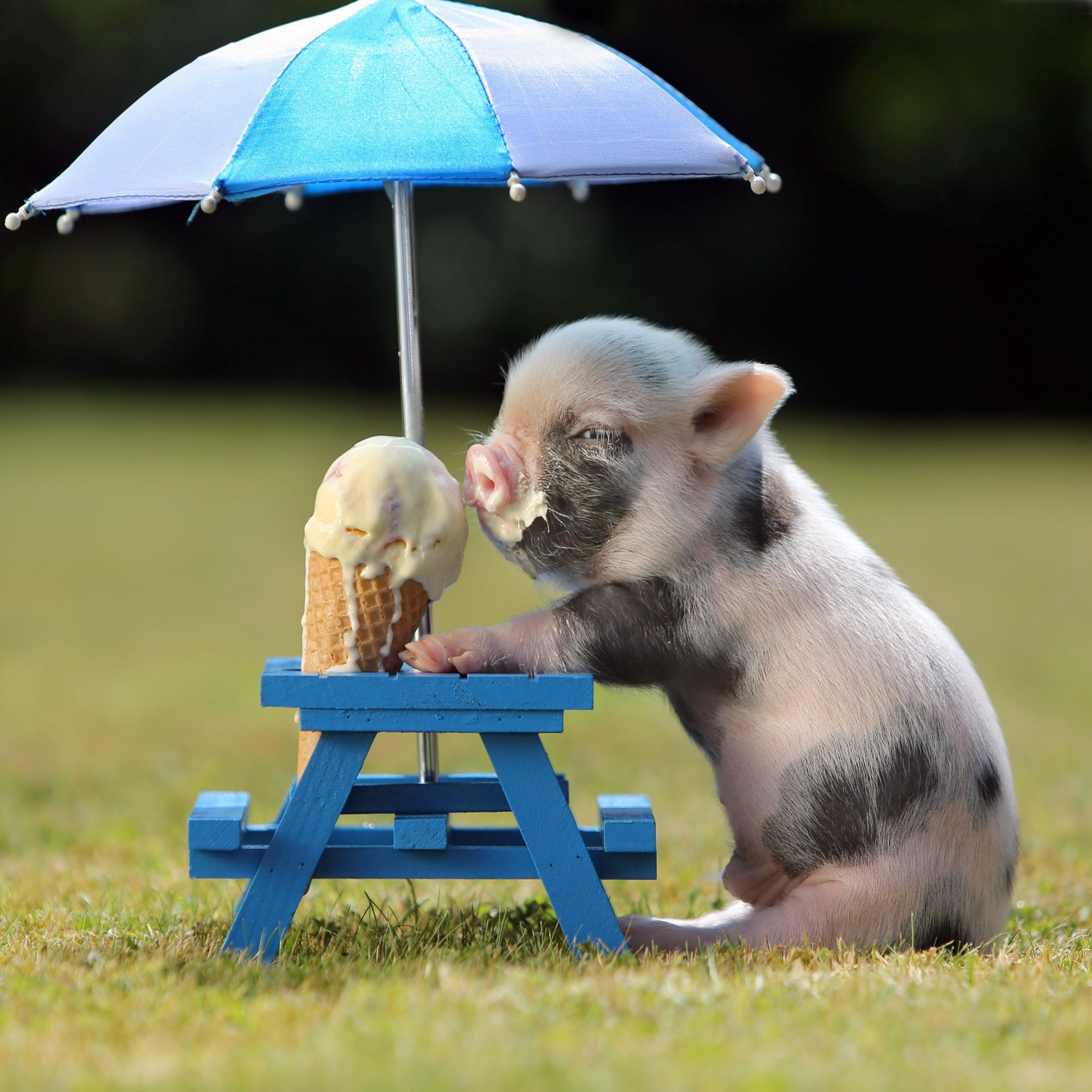 Bebe cerdito onsu cono de nieve - What do miniature pigs eat ...