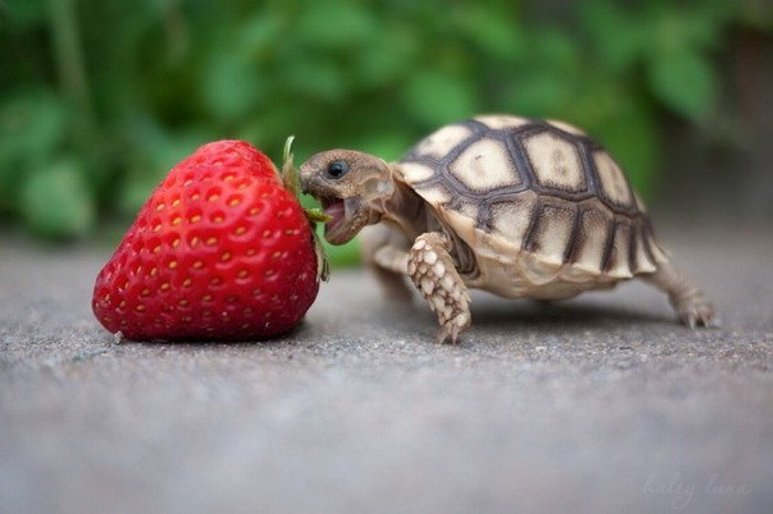 bebe tortuga comienda una fresa