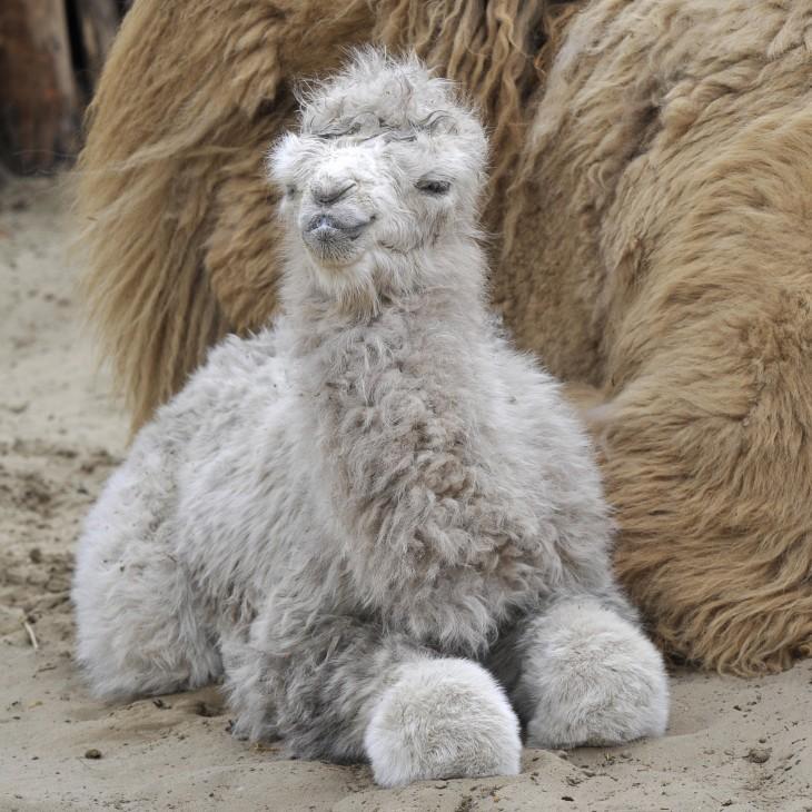 bebe camello