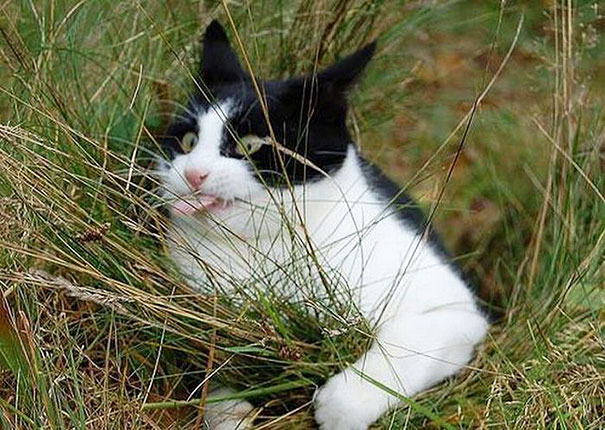 gato blanco negro agarrando pasto