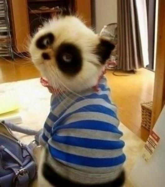 el famoso gato panda