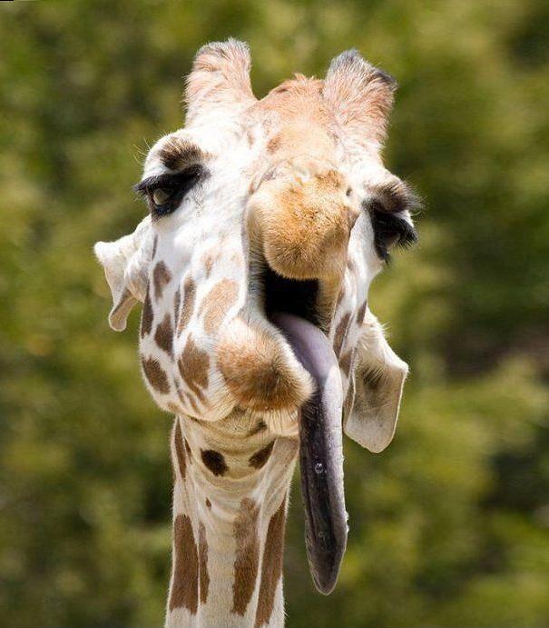 jirafa con la lengua dormida