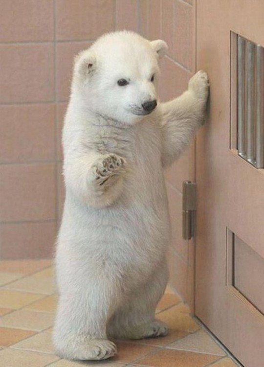 Bellisimo oso polar bebe de pies