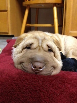 perro intentando hacer la siesat
