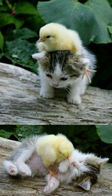 amigos del alma este pollito y el gatito