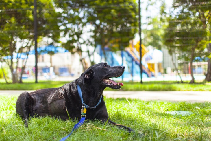una perra de color negro recostada sobre un pasto verde en un parque