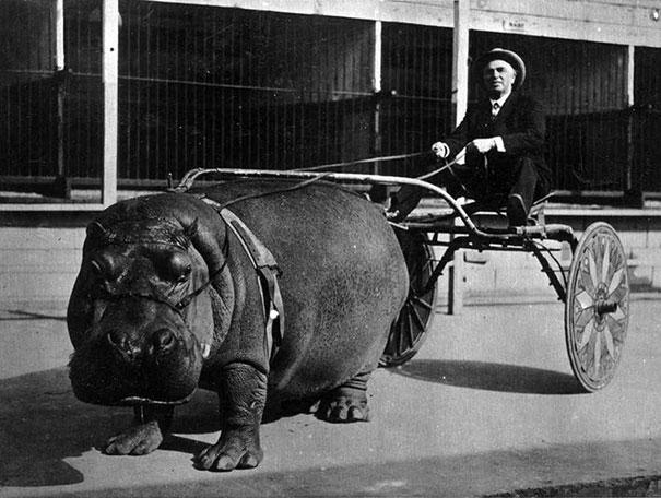 Hippopotamo tirando de un carro de circo, 1924