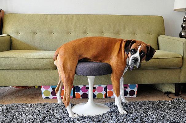 perro raza boxer acostado en una sillita
