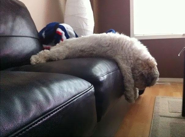 perro que parece oveja acostado en el sillon