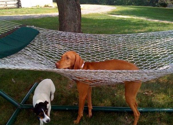 perro settle atrapado en una hamaca