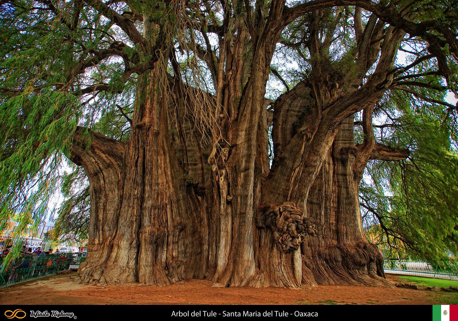 Fotos de los arboles mas hermosos y bellos del mundo for Arbol mas grande del mundo