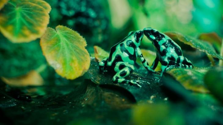 dos ranas verde peleando
