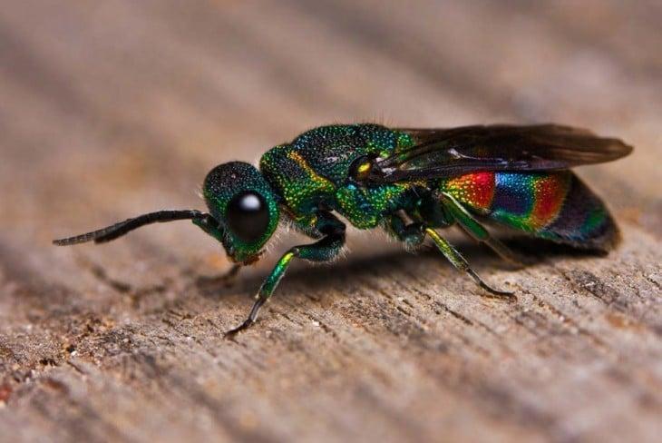 avispa multicolor