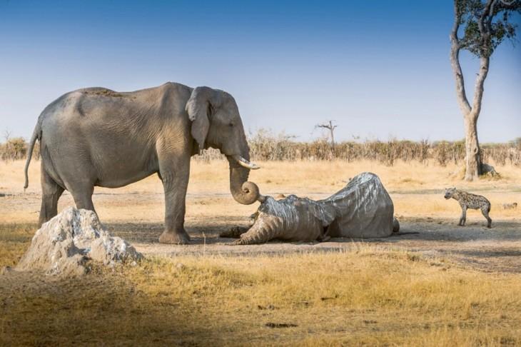 elefante viendo el cadáver de otro elefante