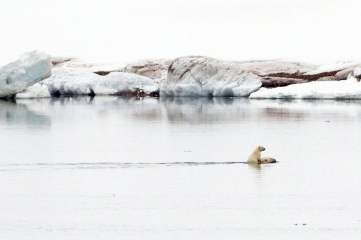 oso polar nadado con cria