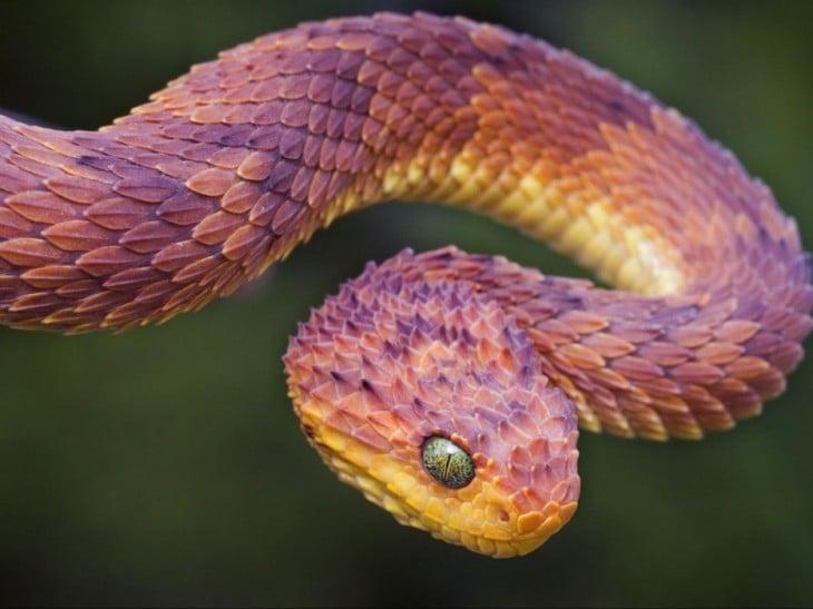 serpiente por atacar