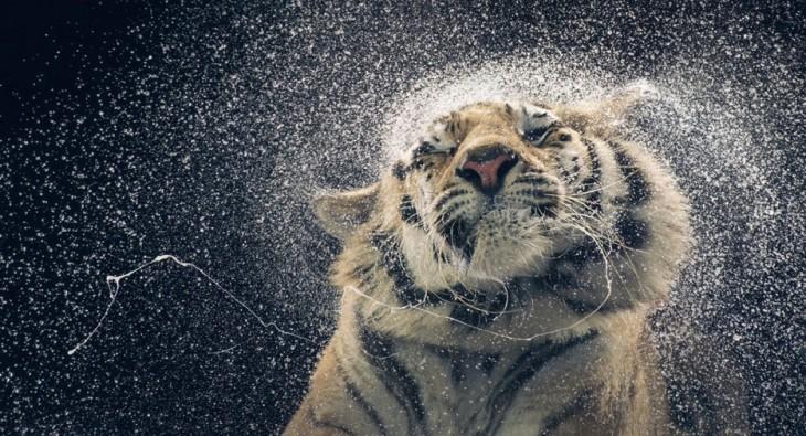 tigre bañandose en la lluvia