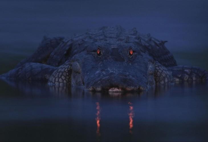 ojos rojos del cocodrilo