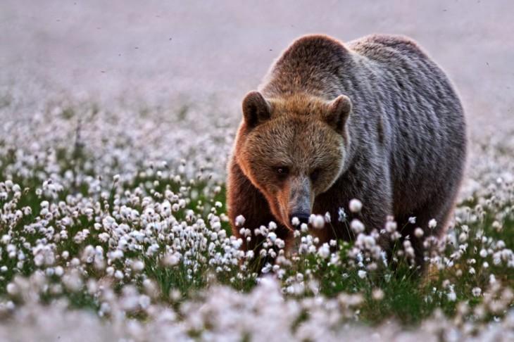 oso pardo en la pradera