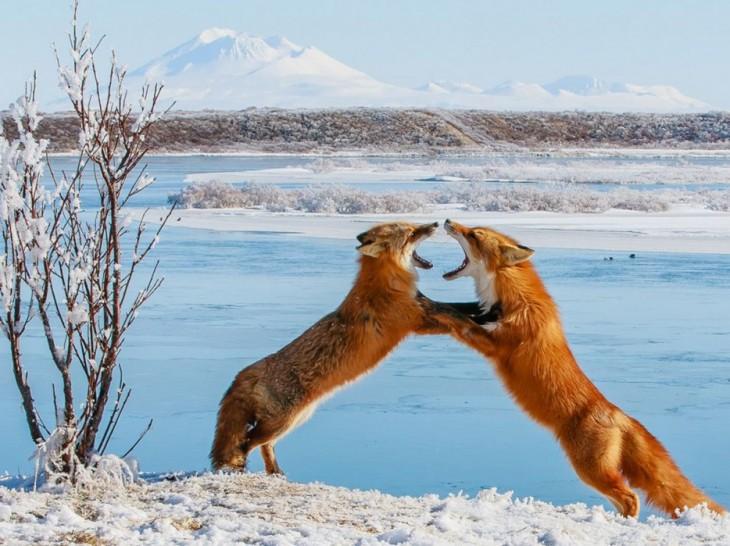 dos zorros peleando