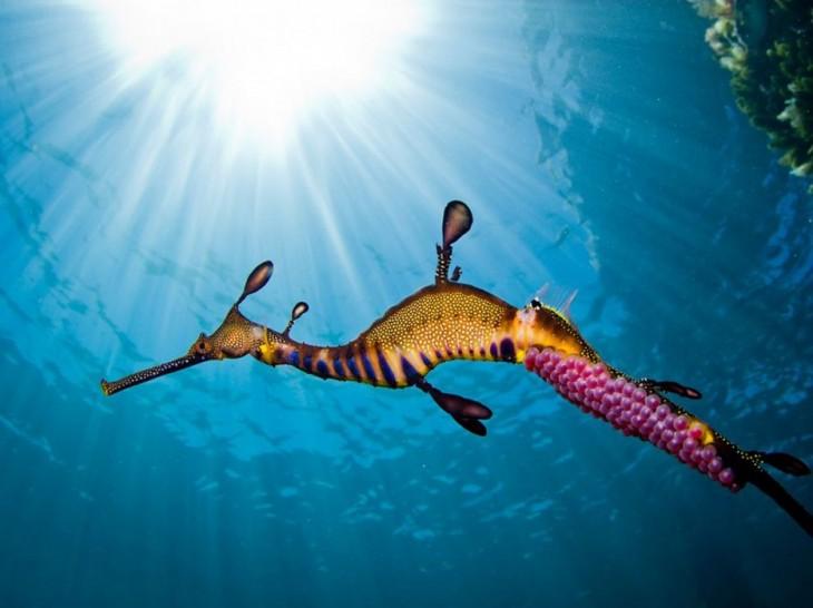 caballito de mar nadando