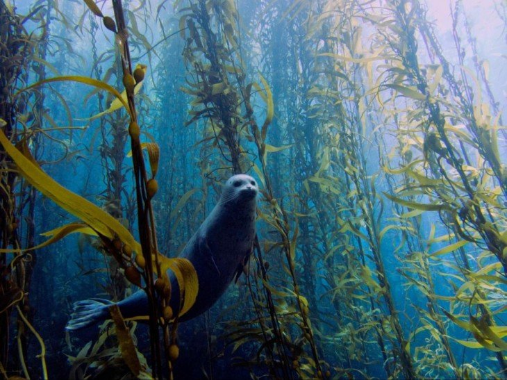 foca nadando en un bosque submarino