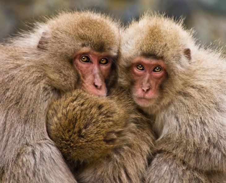 macacos abrazandose