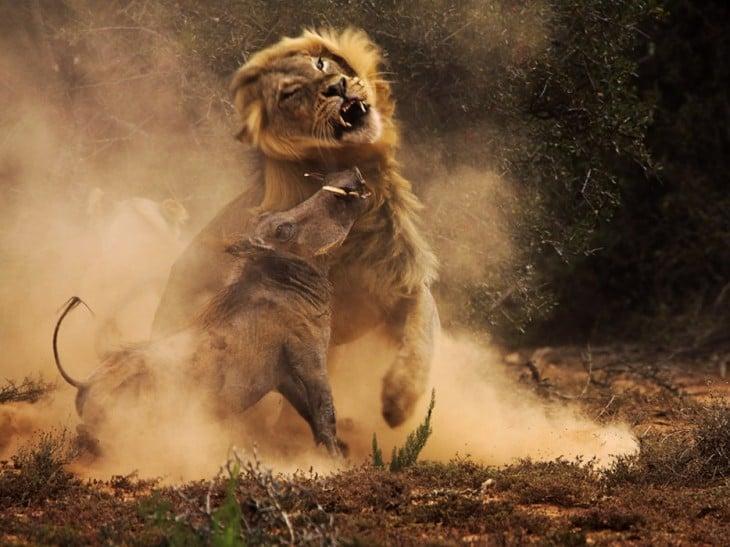 león corriendo