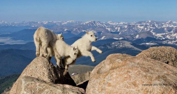 cabras de montaña saltando