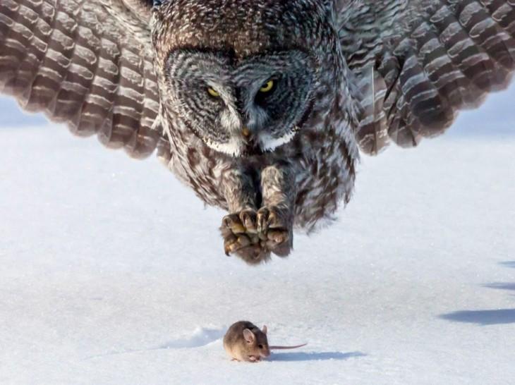 búho atacando un raton