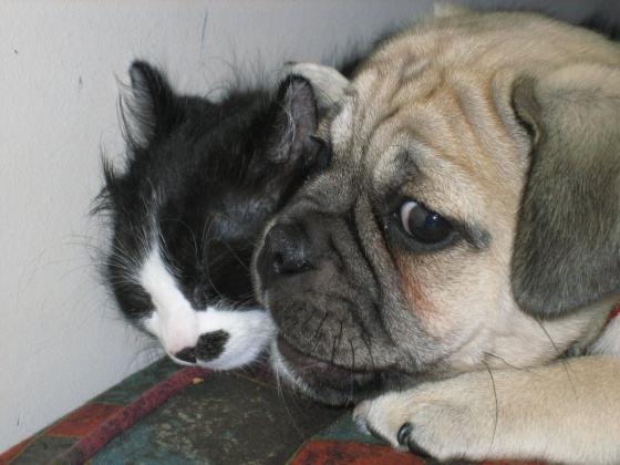 perro aplastando gato