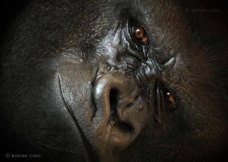 Cara de un gorila