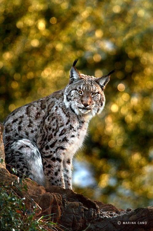 Leopardo parado sobre una roca