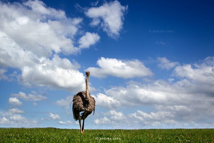 Avestruz caminando sobre un pasto verde