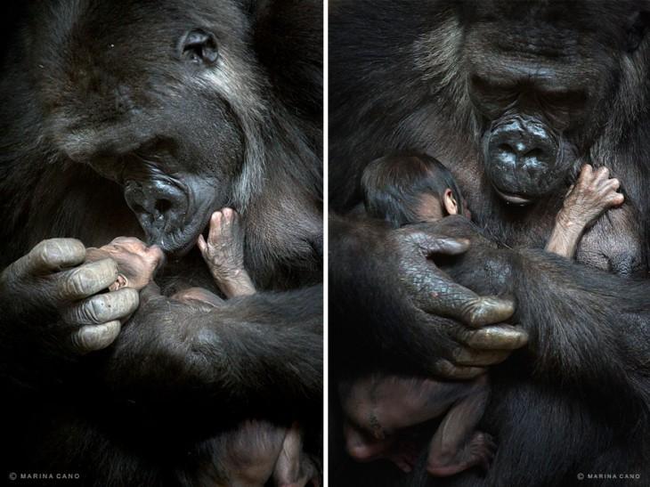 imagen partida en dos que muestra un simio cargando a su bebé en las manos
